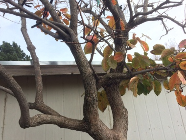 Naked persimmon tree