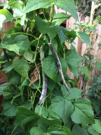 Longer Beans